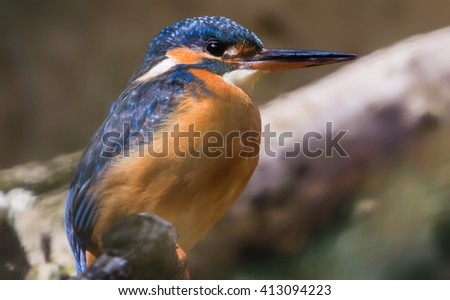 Close-up view of an Common kingfisher (Alcedo atthis) - stock photo