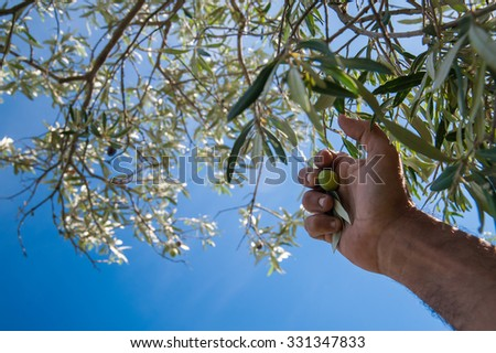 Close up view of an olive pickers' hand against a blue sky - stock photo
