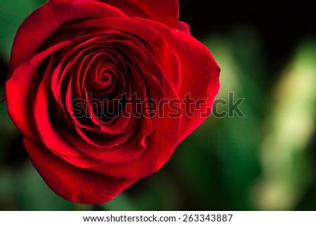 Close-up view of beatiful dark red rose. Macro shot - stock photo