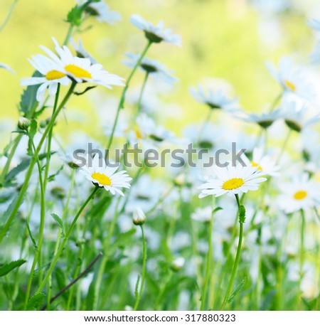 close up view of beauty camomiles - stock photo