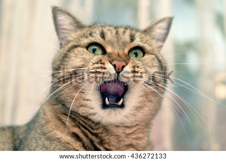 close-up view of cat inside with wide open mouth - stock photo