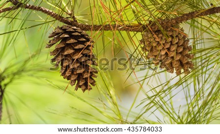 Close-up view of cedar pine cone on the tree, the most common type of coniferous tree in the world. Pinecone on the tree with warm light and shallow dof, bokeh background. Panorama. - stock photo
