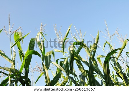 Close-up View of Crops Growing on Farmland against a Clear Blue Sky - stock photo