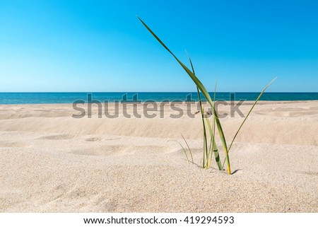 Close-up view of green grass stem on the sandy beach of a Baltic sea - stock photo