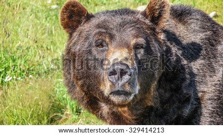 Close-up view of impressive head of staring grizzly bear in the Canadian wilderness - stock photo