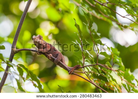 Close up view of Madagascar Lizard sitting on the branch - stock photo