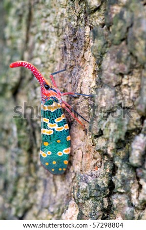 Close up view of Pyrops candelaria on tree - stock photo