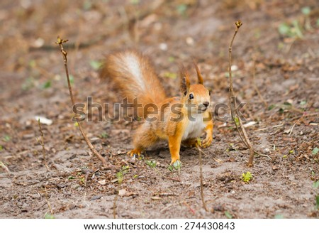 Close-up view of red squirrel in the forest - stock photo