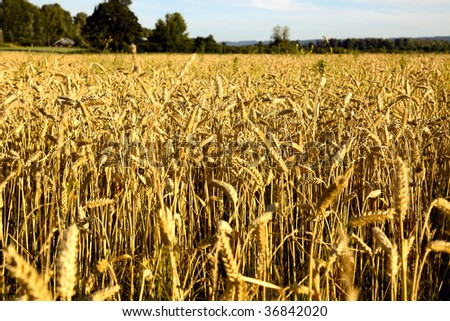 Close up view of ripe wheat in a farmers field. Shallow depth of field, focus is at foreground. - stock photo