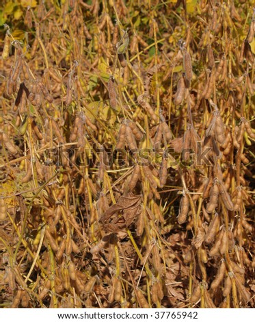 Close-up view of ripening fuzzy soybeans in an Indiana field. - stock photo