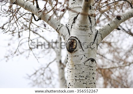 Close-up view of rural aspen tree with cold, stormy sky background, shallow DOF - stock photo