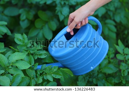 Close up view of someone watering their garden of russet potato plants - stock photo