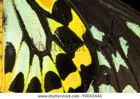 Close-up view of the detail of a Common Birdwing (Troides helena) , a beautiful and large butterfly belonging to the Swallowtail (Papilionidae family). - stock photo