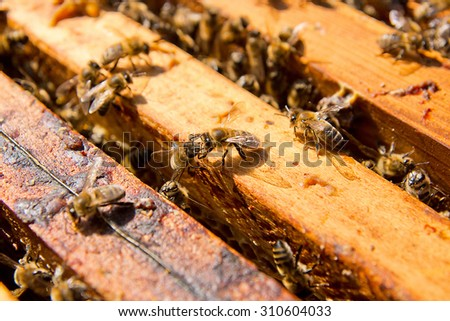 Close up view of the opened hive body showing the frames populated by honey bees. - stock photo