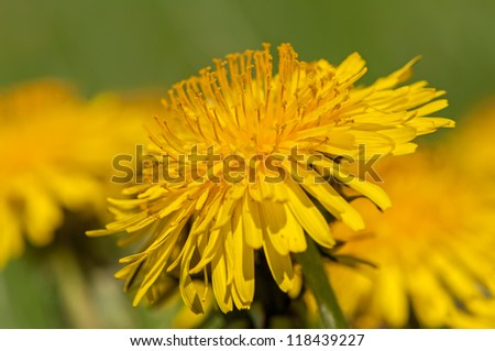 Close up view of yellow dandelion flower. - stock photo