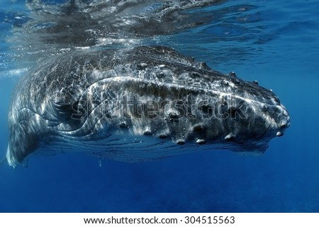 CLOSE-UP VIEW OF YOUNG HUMPBACK WHALE HEAD - stock photo