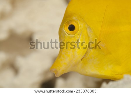 Close up view on the yellow tang fish.  The yellow tang (Zebrasoma flavescens) is a saltwater fish species of the family Acanthuridae. It is one of the most popular aquarium fish. - stock photo