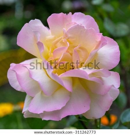 Close-up view to rose on green blurred background. Selective focus - stock photo