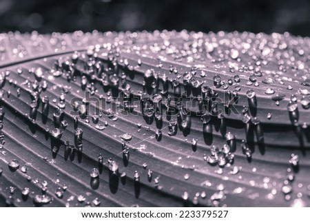 Close-up water drop on banana leaf.Black & white - stock photo