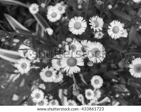 close up white daisies background, black and white effect - stock photo