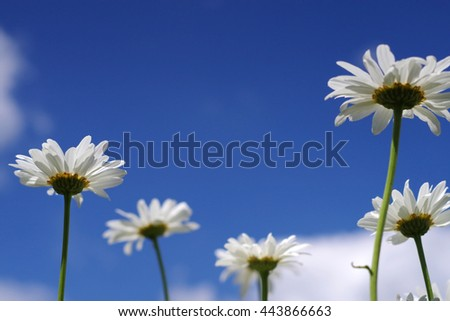 Close up white daisy chamomile flowers from below against blue sky with clouds - stock photo