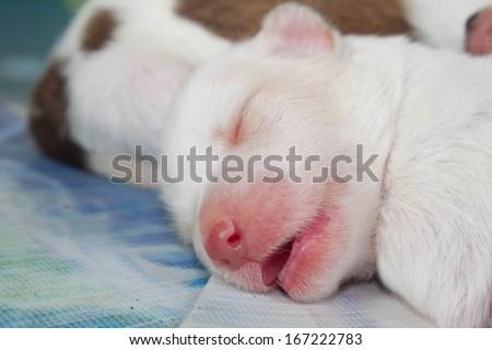 close up white dog newborn sleeping so cute - stock photo