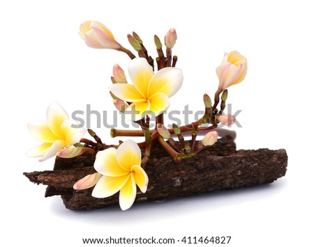 close up white frangipani petal flowers bouquet with fresh water dew on leaves isolated white background use for decorated beautiful natural theme - stock photo