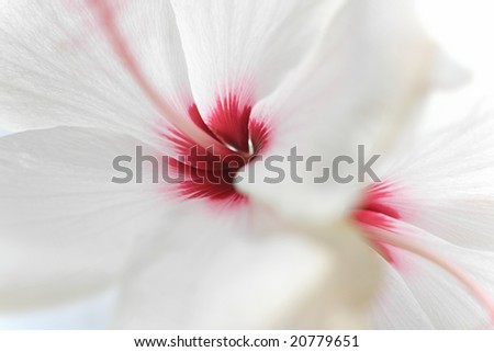 close up white hibiscus rose Hibiscus rosa-sinensis Timeless - stock photo