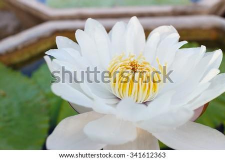 close up white lotus flower  on blur background - stock photo
