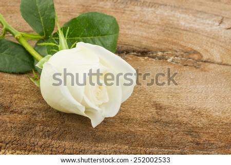 Close up White rose on wood background. - stock photo
