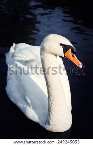 Close up white swan portrait - stock photo
