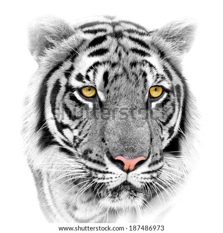 Close up white tiger face, isolated on white background. - stock photo