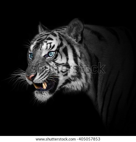Close up White tiger get angry, it looking mad.  - stock photo