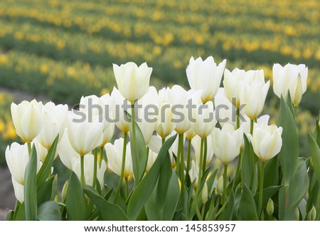 Close-up white tulip flowers - stock photo
