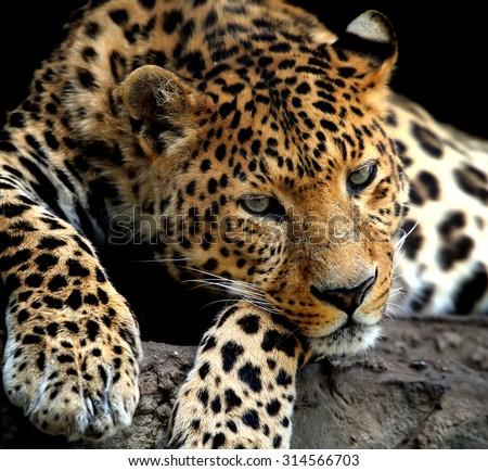 Close up wild leopard on the dark background - stock photo
