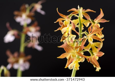 Close up yellow calanthe discolor flowers in front of pale purple flowers - stock photo