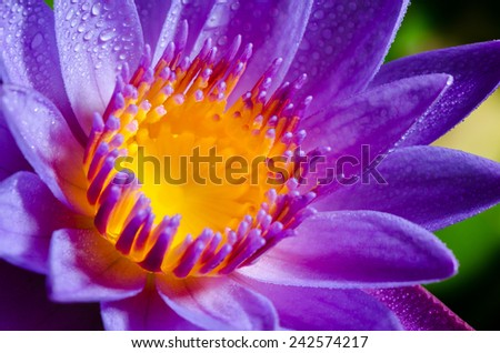 Close up yellow carpel and water drops on violet Lotus or Water Lily flower - stock photo