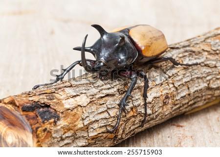 Giant Horned Beetle - WeSharePics  Giant Horned Beetle