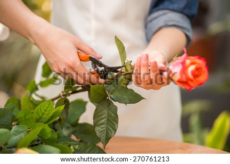 Close-up. Young female florist pruning rose in flowers shop. - stock photo