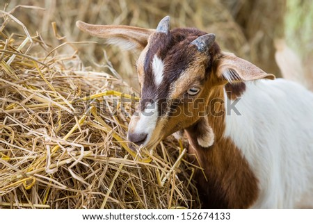 Close up young goat eating dry straw in farm from Thailand - stock photo