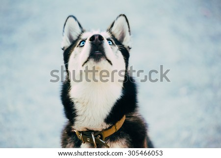 Close Up Young Happy Husky Puppy Eskimo Dog Looking Up Outdoor In Winter, Snow Background - stock photo
