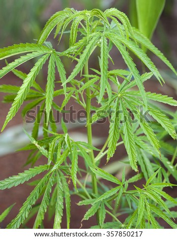 close up Young leaf of marijuana plant detail.Selective focus. Low depth of field. - stock photo