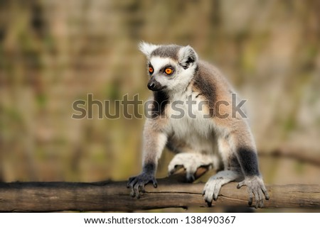 Close-up young ring-tailed lemur - stock photo