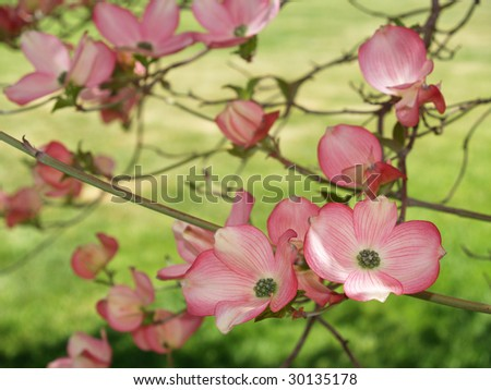 Close-ups of pink blooms adorning a Dogwood tree in spring. - stock photo