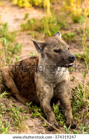 CLose view of a hyena in the grass in the Moremi Game Reserve (Okavango River Delta), National Park, Botswana - stock photo
