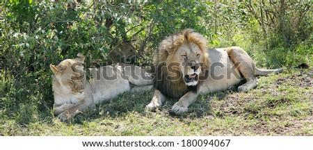 Close view of a lion and lioness resting near bush of masai Mara - stock photo
