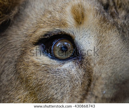 Close view of a male Lion Eye - stock photo