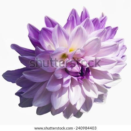 Close view of a single purple dahlia's blossom isolated - stock photo