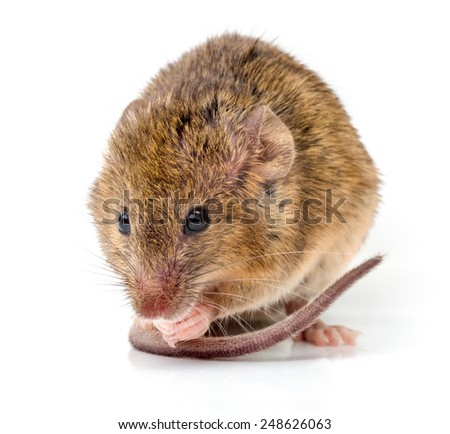 Close view of a tiny house mouse (Mus musculus) - stock photo