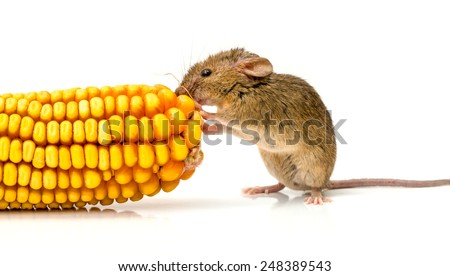 Close view of a tiny house mouse (Mus musculus) eating corn seeds - stock photo